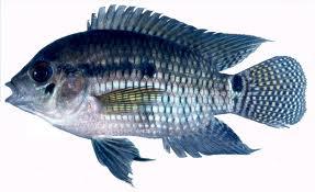 Peixe Acará
