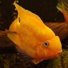 Peixe Papagaio